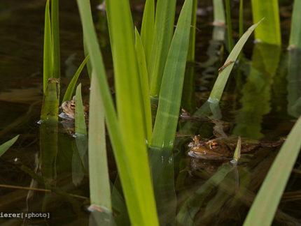 Der Grasfrosch (Rana temporaria)